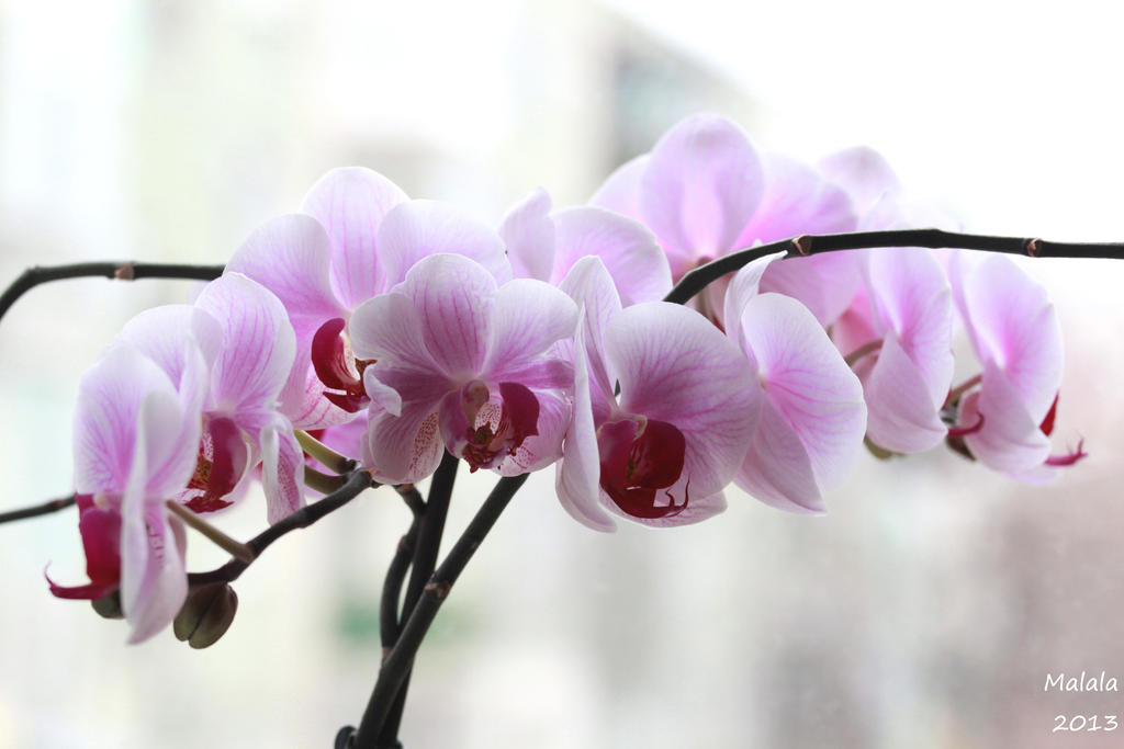 My orchids by malaladanila