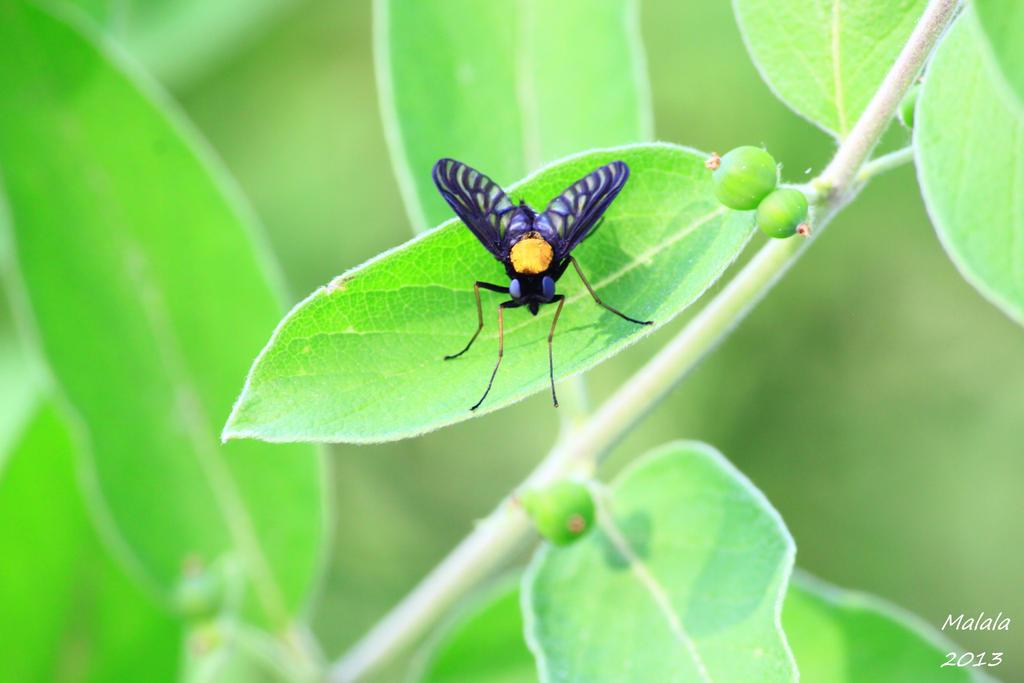 Chrysopilus thoracicus by malaladanila