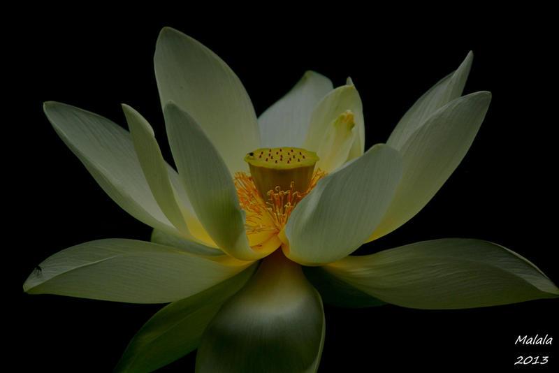 Simphony of flower by malaladanila