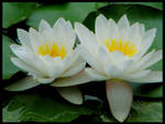 LOTUS by daysy-laura