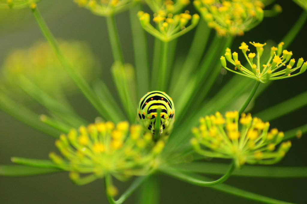 Papilio machaon caterpillar by SophieVogel