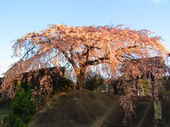 Sakura2015 by muchan