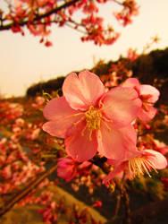 Kwazu sakura by muchan