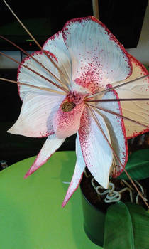 white/pink Monster Orchid