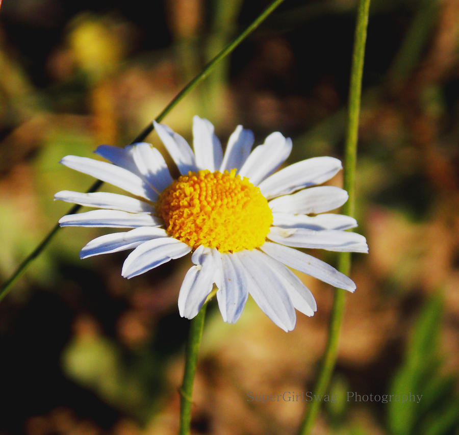 Daisy love by SuperGirlSwag