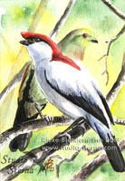 Araripe manakin, mini painting for sale by rieke-b