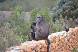 Baboon mother looking for lice