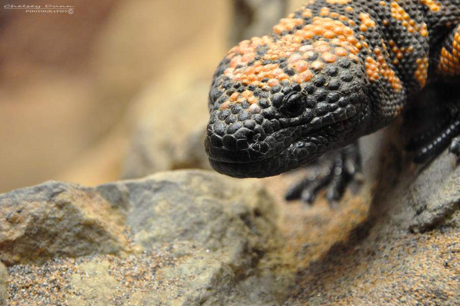 Gila Monster by Chaotic-Chelly