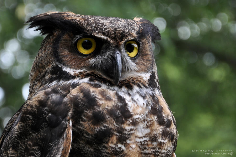 Great Horned Owl by Chelsey-Dunn