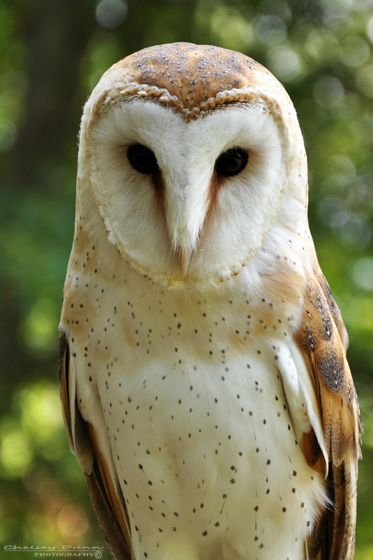 Barn Owl by Chaotic-Chelly