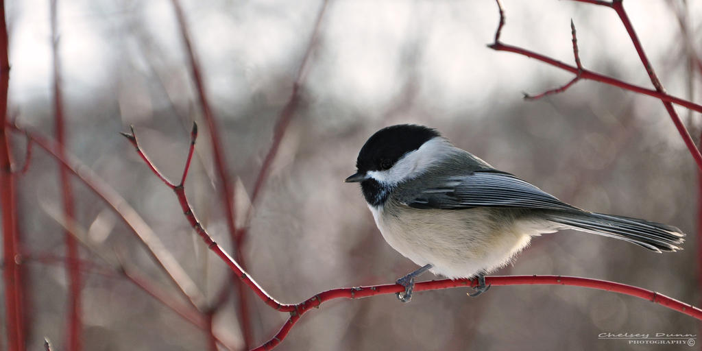 Black-capped Chickadee III by Chaotic-Chelly