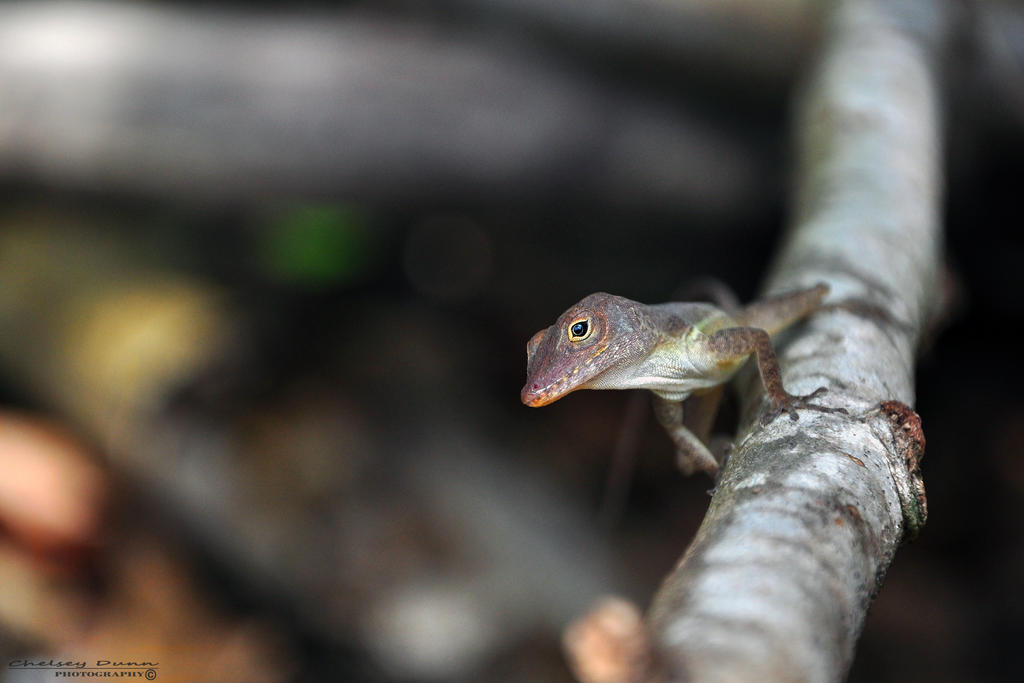 Brown Anole by Chaotic-Chelly