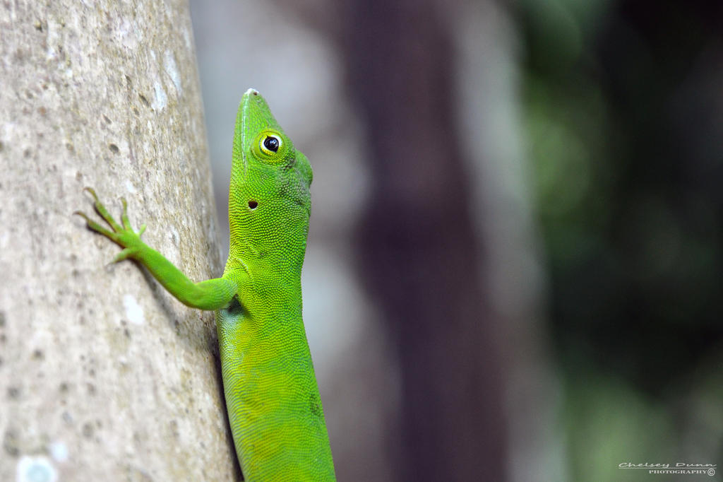 Jamaican Giant Anole by Chaotic-Chelly