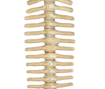 Spine PNG STOCK