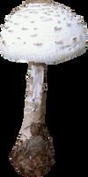 Chilliwater Mushroom