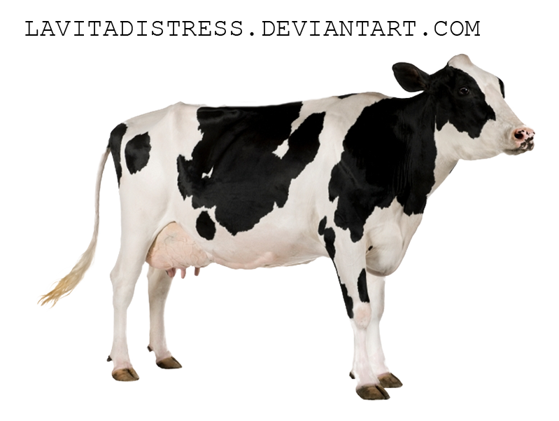 cow png  Cow