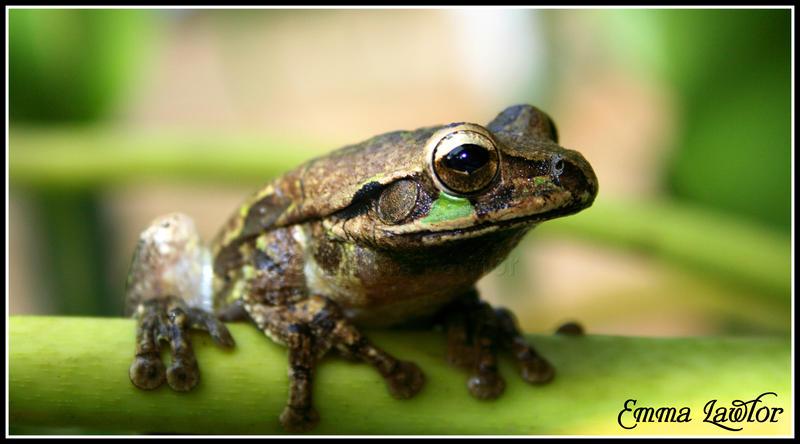 Smilisca baudinii, frog - 2 by Emma-Lawlor
