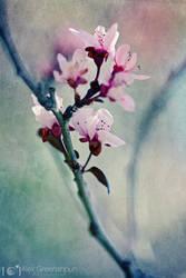 Cherry Blossom Blues by alexgphoto