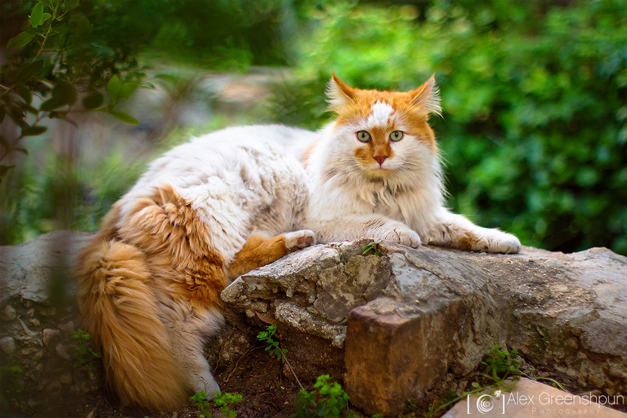 His Highness: The Cat by alexgphoto