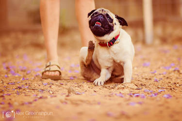 Wesley the Pug by alexgphoto