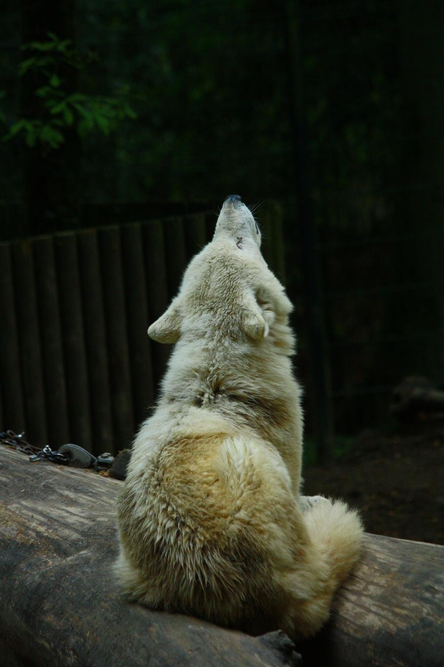Wuppertal 11 Wolf 8 by Dark-Wolfs-Stock
