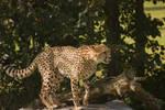 Stukenbrock 14 . Cheetah 007