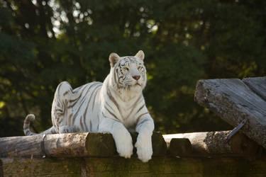 Stukenbrock 14 . Tiger 009 by Dark-Wolfs-Stock