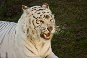 Stukenbrock 14 . Tiger 011 by Dark-Wolfs-Stock