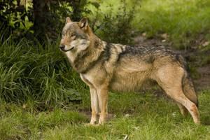 Nordhorn 14 . Wolf 014 by Dark-Wolfs-Stock