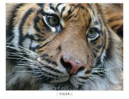 Taronga Zoo - Tiger by z-i-t-e-x