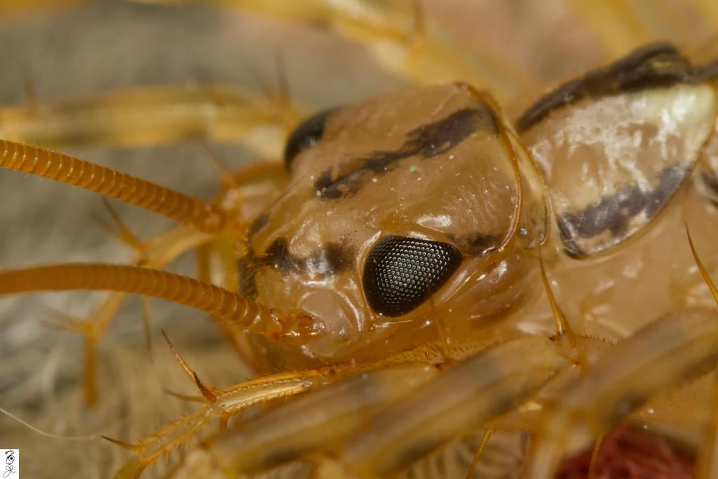 Eye of Scutigera by The-Dude-L-Bug