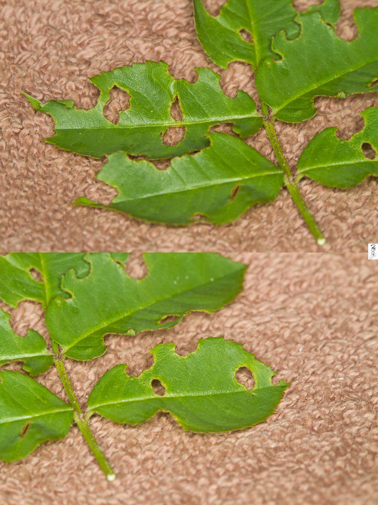 Evidence of Sawfly larvae by The-Dude-L-Bug