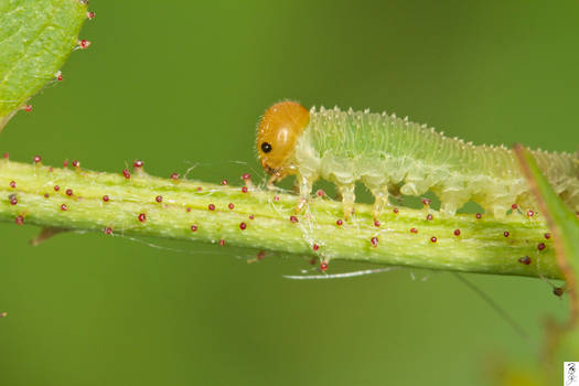 Sawfly Larva Trying To Flee The Scene