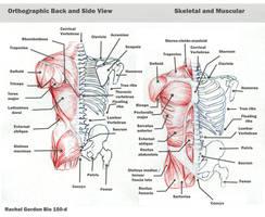 Torso - bones and muscles by ArsonAnthemKJ