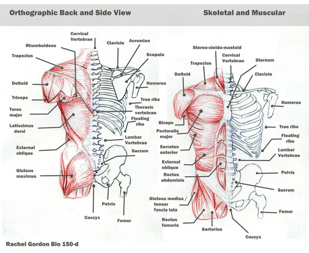 facial muscles wiki