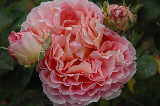 Chrysanthemum Rose