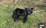 Life Sized Black Wolf Plush Display