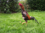 Red Shamo rooster