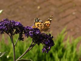 Butterfly by bigunknown