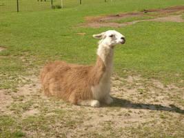 A real llama, anyone...? by bigunknown