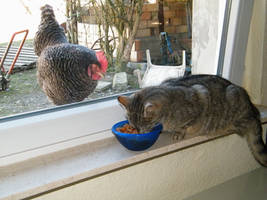 Jealously chicken by bigunknown