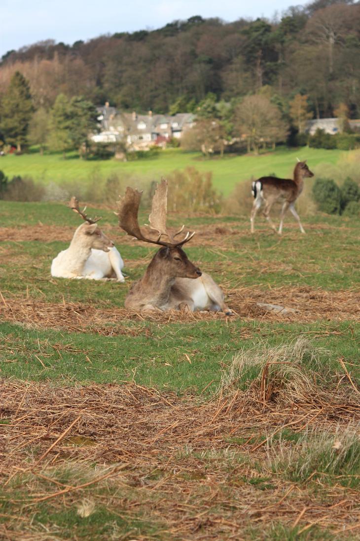 Bradgate Deer by Slug22