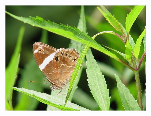 papilon by yoxx