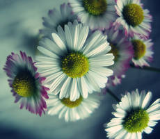 the first daisies by adriannazajac