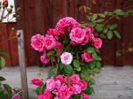 Rose bush stock 3