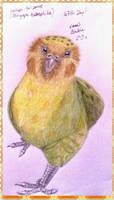 Kakapo the owl parrot