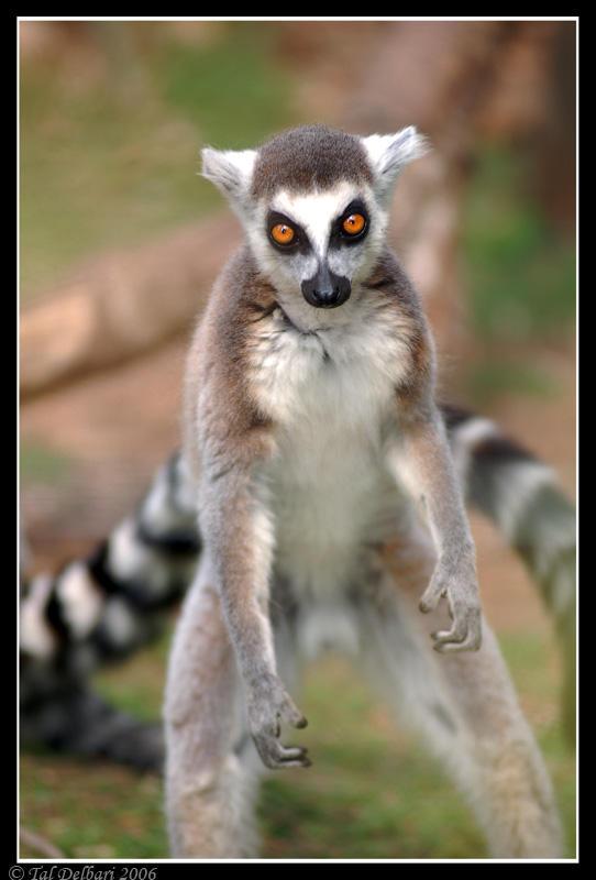 Lemur 2 by delbarital