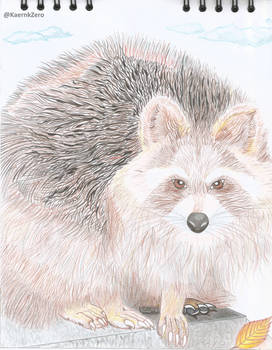 Raccoon!