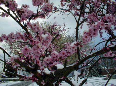 Sakura no Icee