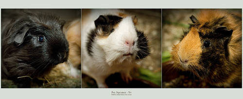Pig Squares by yv